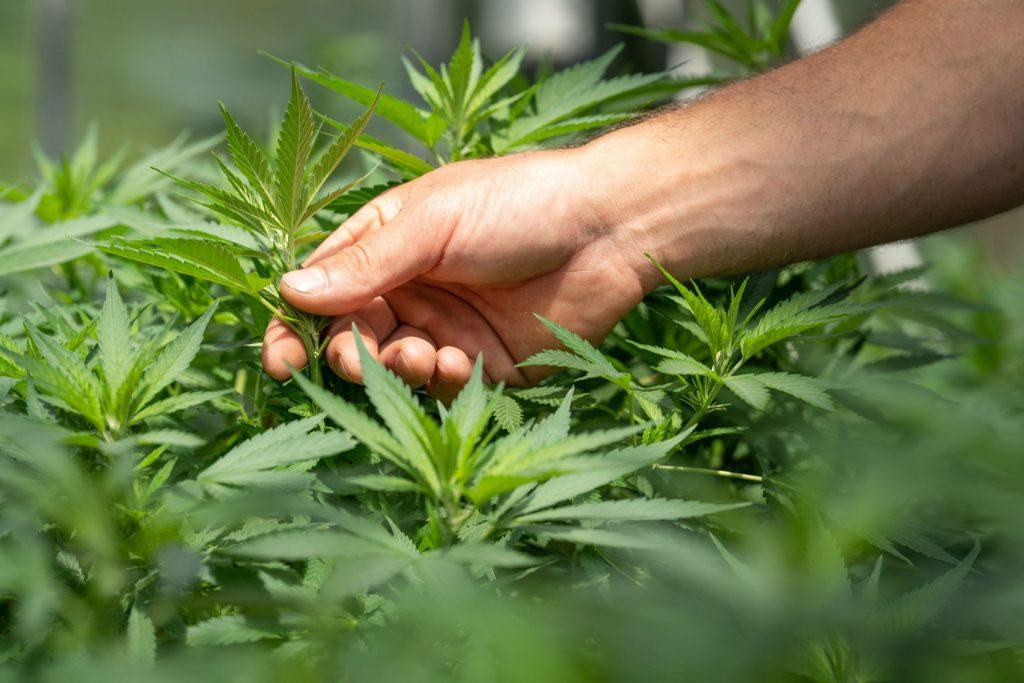 מגדל בודק צמחי מריחואנה